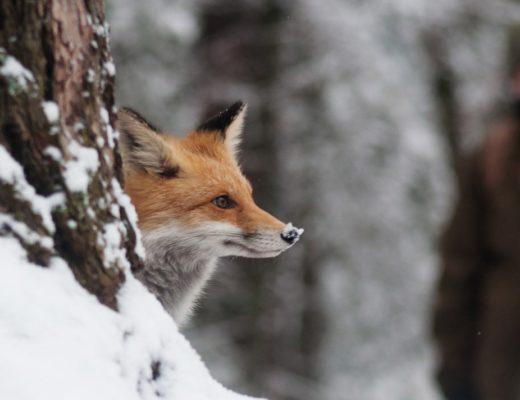 Erlegtes Raubwild zu verwerten, ist aktiver Natur-, Umwelt- und Artenschutz.