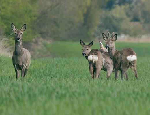 Rehwildbejagung im Frühjahr, Aufgang der Bockjagd und Vorverlegung der Jagdzeit auf Rehwild: Interview mit Wildbiologe Johannes Lang.